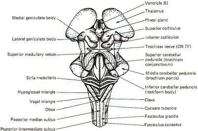 3 additionally Heart Of Photo Body Of Part besides Cranial nerves coloring together with Fetal Pig Diagram Labeled further Unlabeled Diagram Of Human Inner Ear. on labeled diagrams human brain