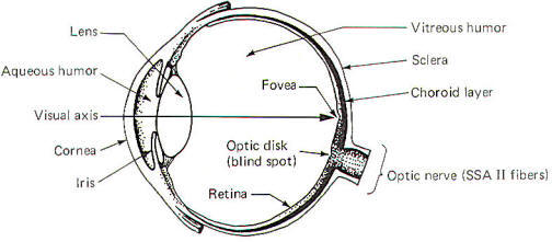 vision and optic reflexes